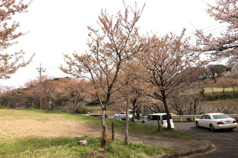 富士見塚の桜