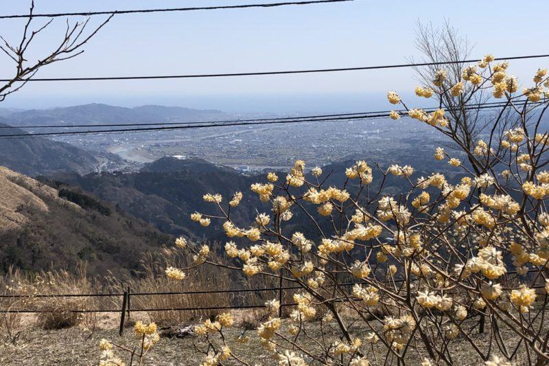 大野山のミツマタ