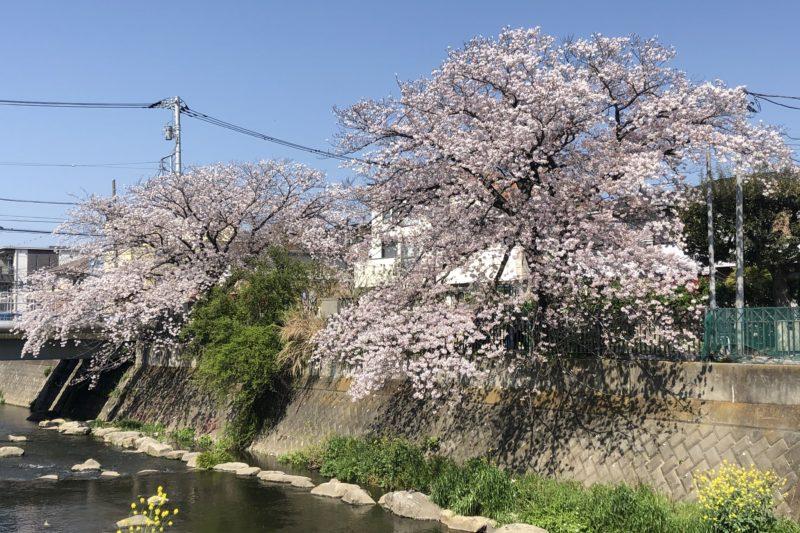いくつかの桜