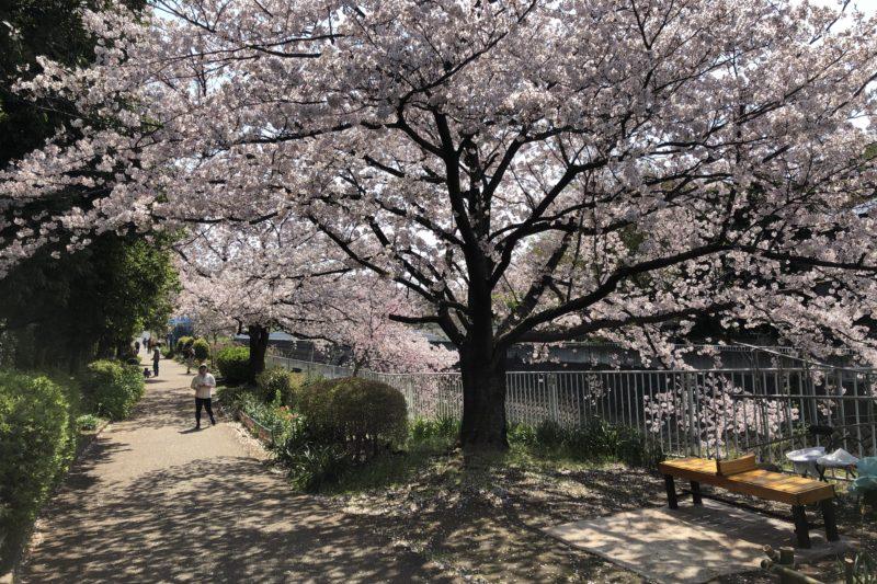 平戸永谷川の桜