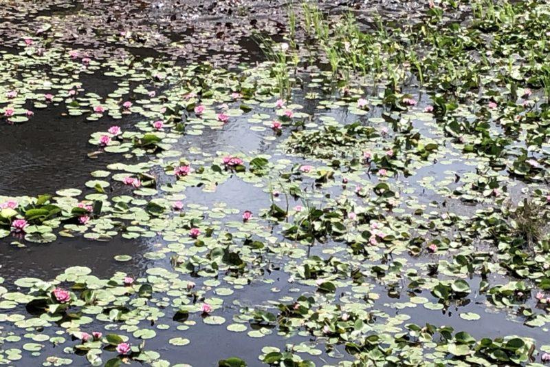 調整池の蓮の花