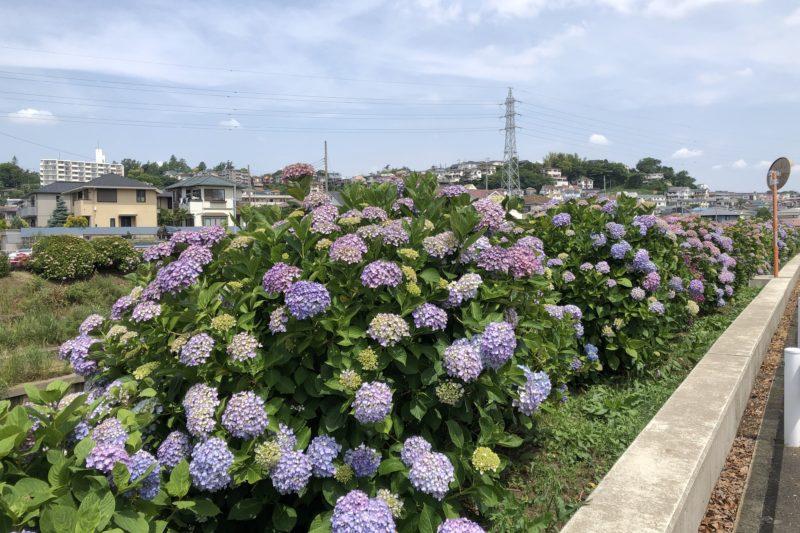 境川の紫陽花