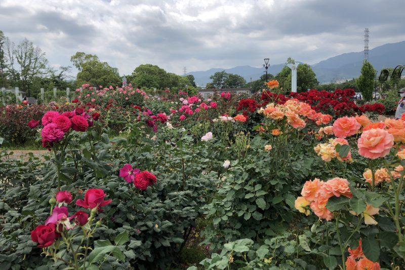 秦野市カルチャパークの薔薇