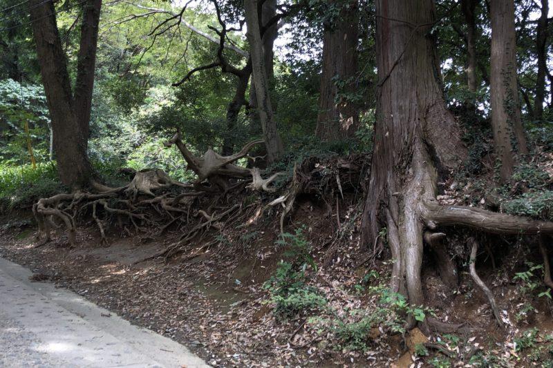 高尾山の杉