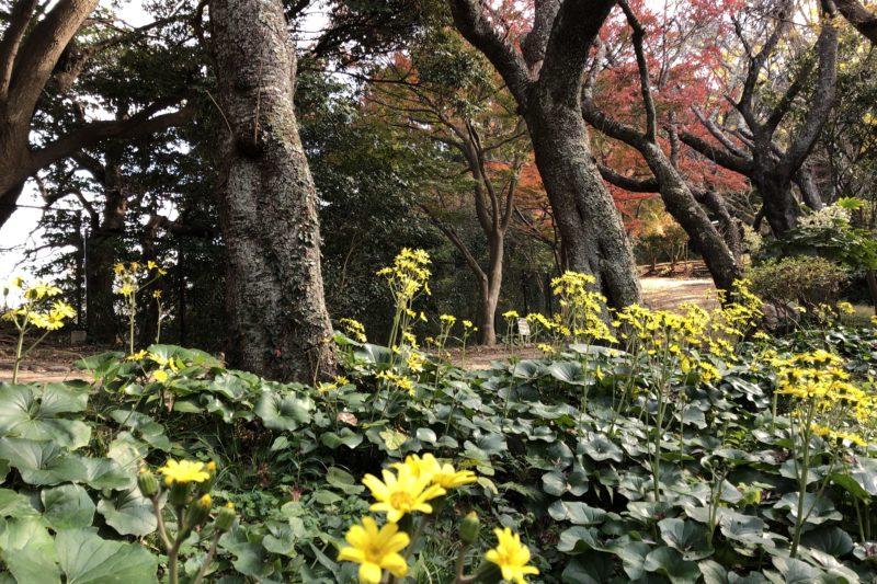 源氏山公園のフキの花