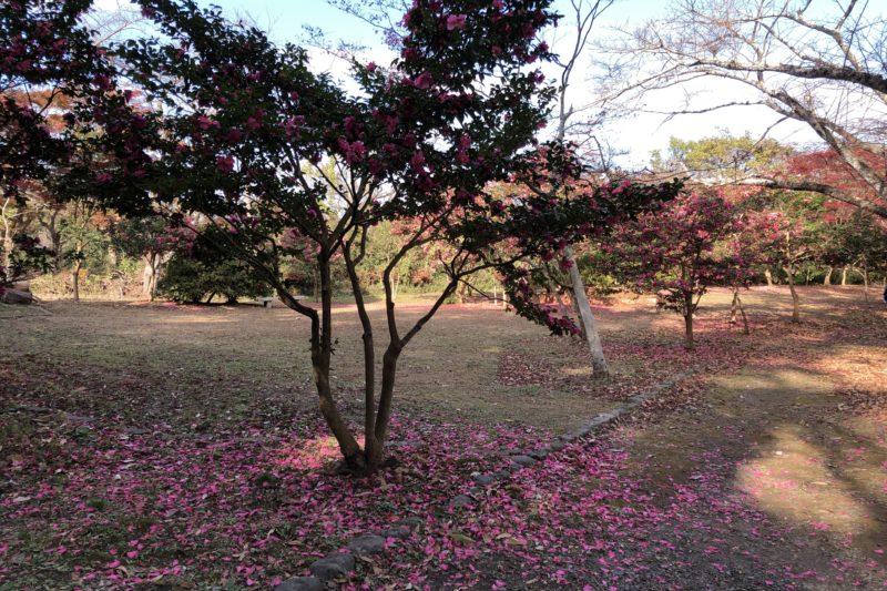 源氏山公園の椿
