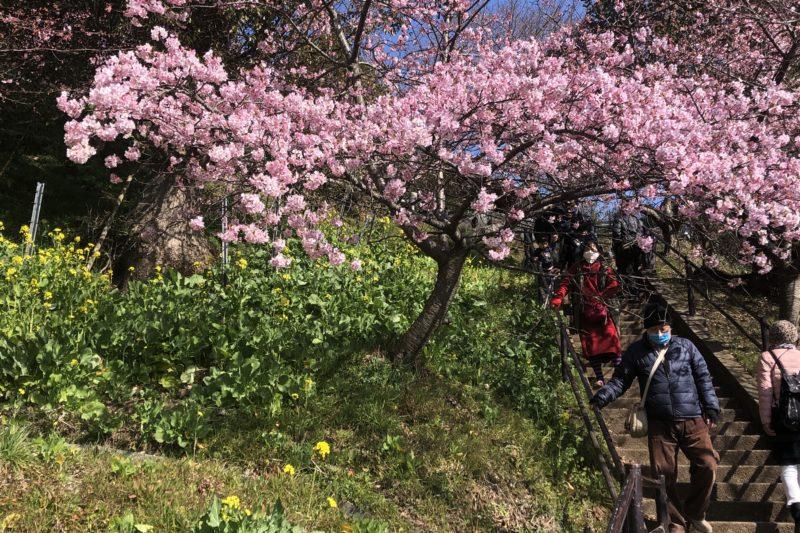 西平畑公園の河津桜