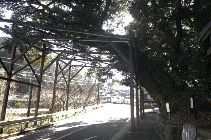椎の木の大木