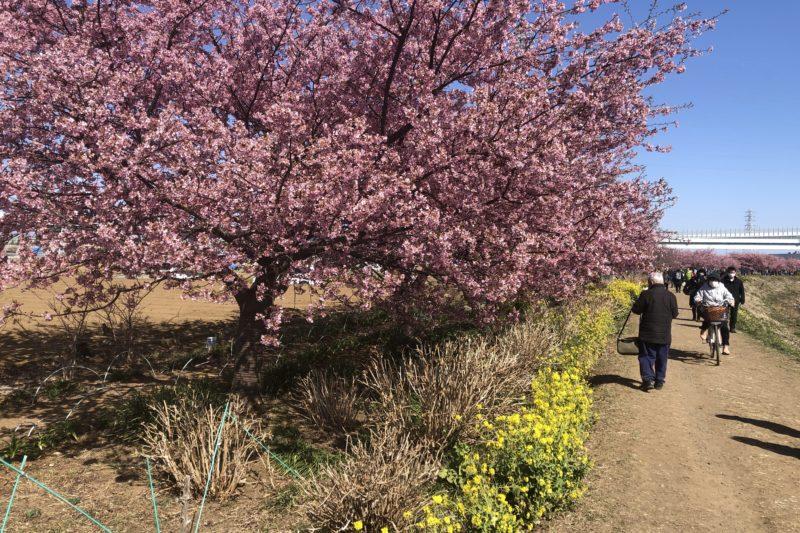 小出川の河津桜と菜の花