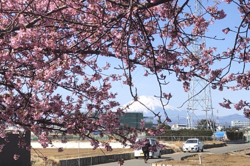 小出川の河津桜と富士山