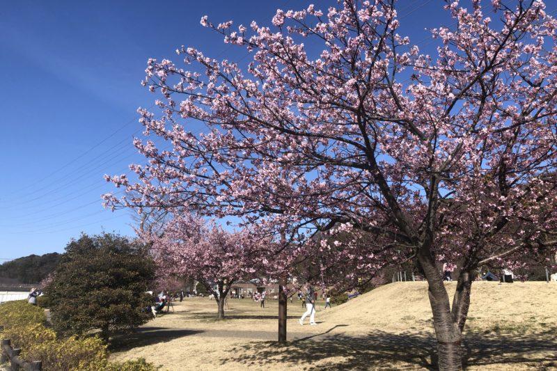 引地川公園の桜