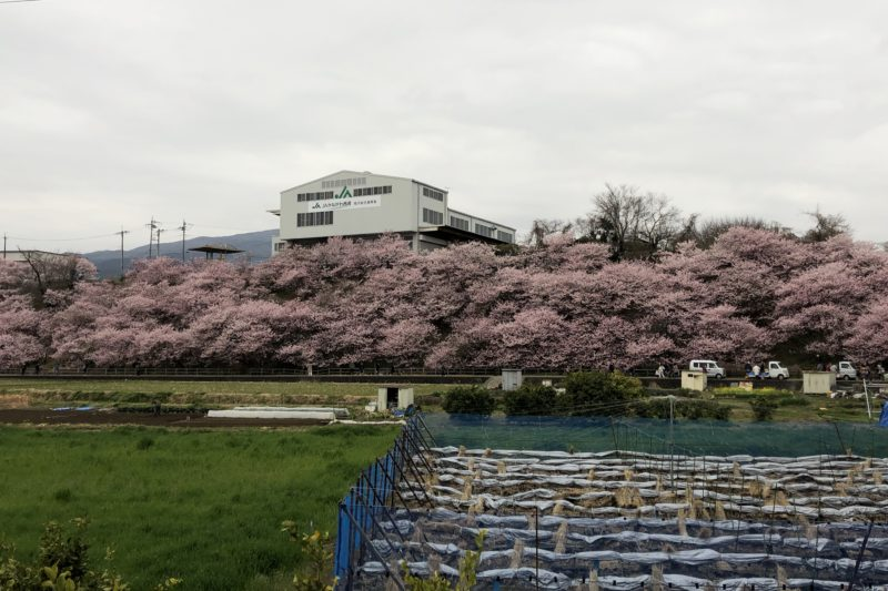 一ノ堰ハラネの春めき桜