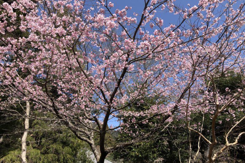 ヤビツ峠の桜
