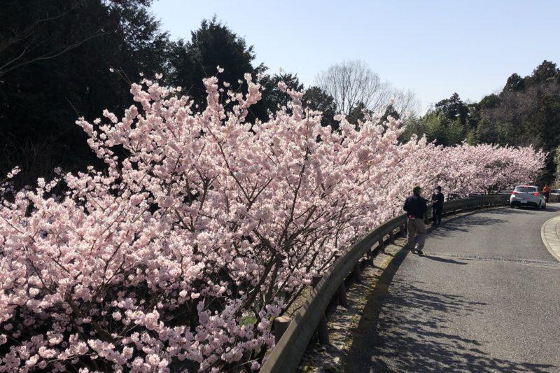蓑毛の春めき桜