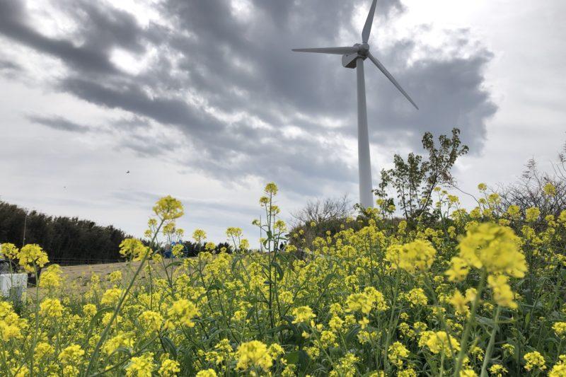 宮川公園の風車と菜の花