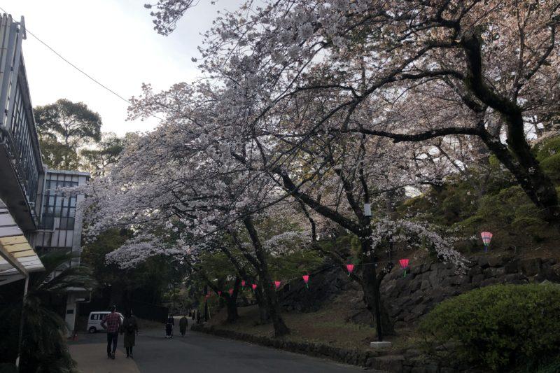 小田原城内の桜