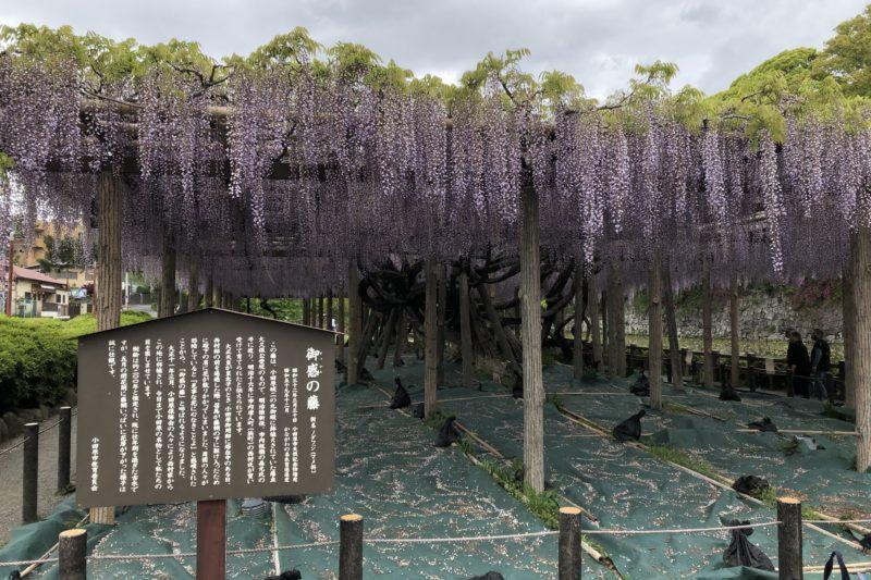 小田原城址公園の藤棚