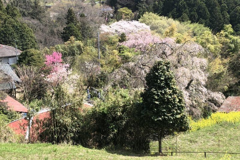土佐原のしだれ桜