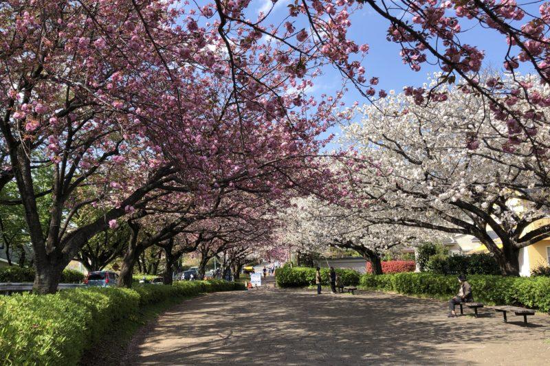 尾根緑道脇の八重桜
