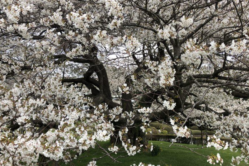 箱根の湖畔の一本桜