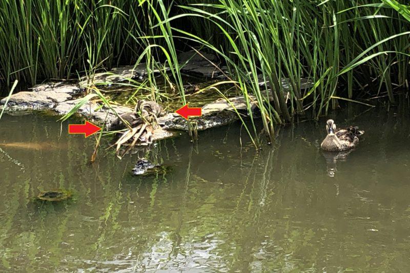 久良岐公園の池の鴨