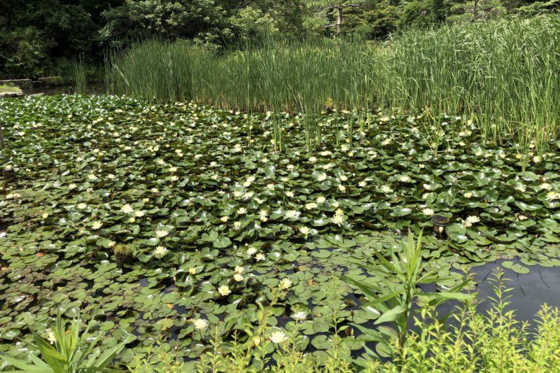 久良岐公園の池のスイレン