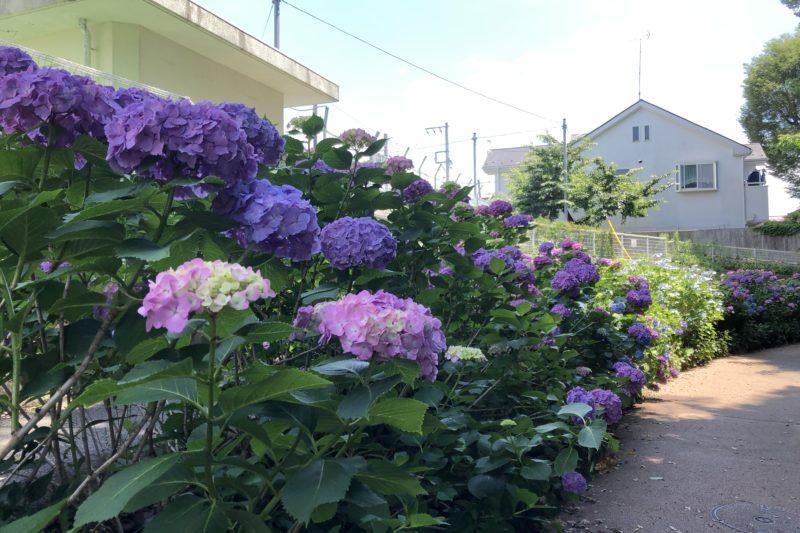 三ツ沢せせらぎ緑道の紫陽花