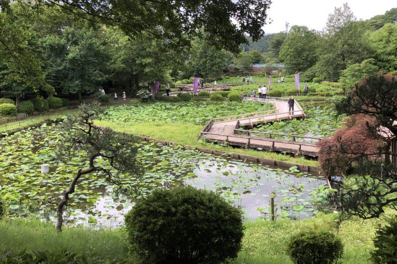 薬師池公園の蓮池