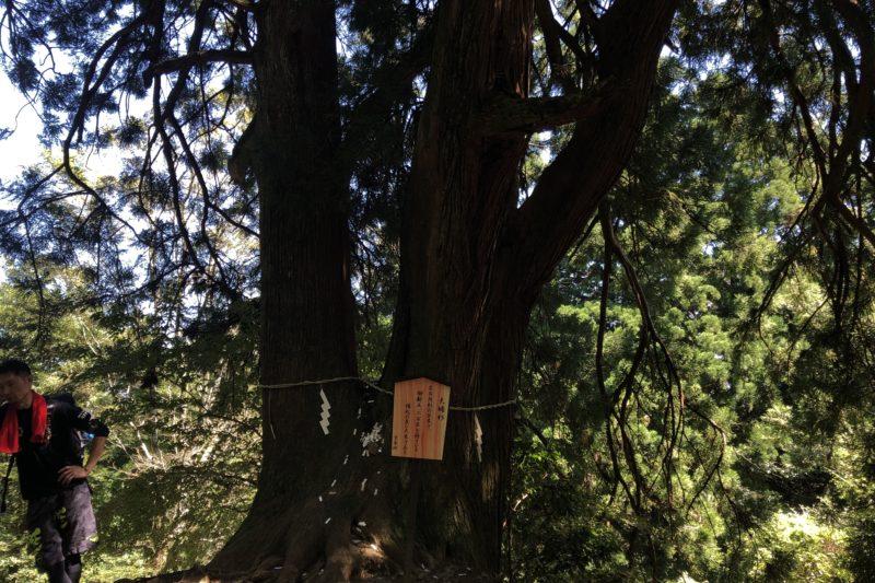 大山登山道の夫婦杉