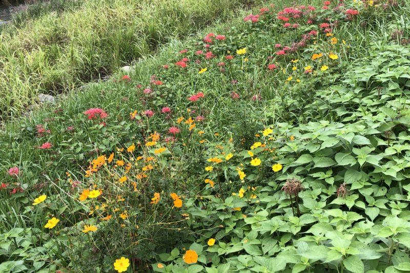 狩川に咲く花